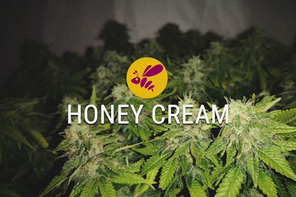 Honey Cream Gefeminiseerde Cannabis Zaden