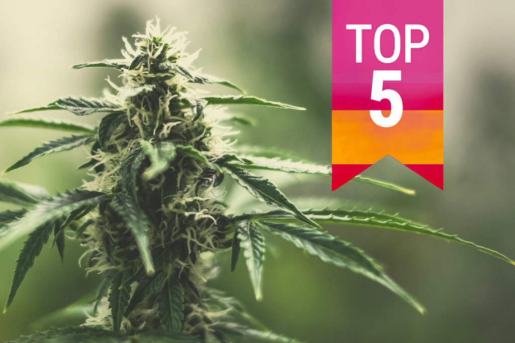 Top 5 Populairste Cannabissoorten In Spanje
