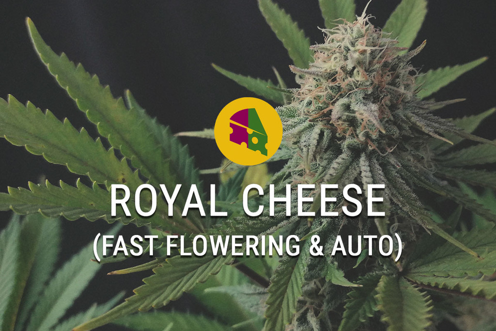 Royal Cheese gefeminiseerde marihuana