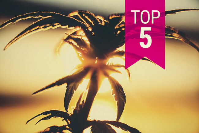 Top 5 cannabissoorten voor warmere klimaten (2020 Update)