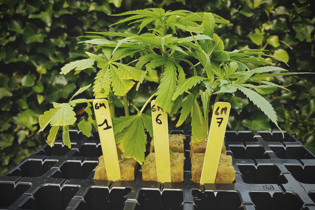 Basis cannabis kennis: Genotype en Fenotype