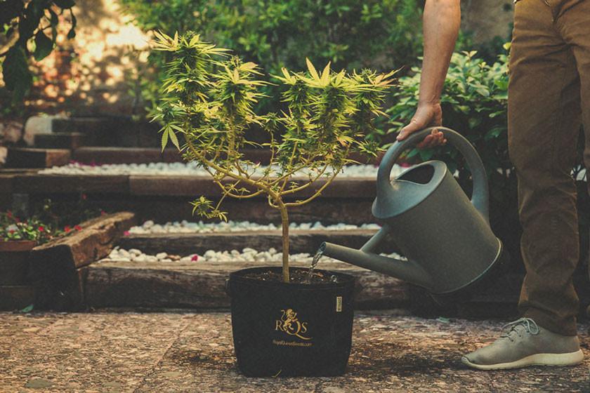 foto de Hoe en Wanneer Je Marijuana Planten Kunt Spoelen - RQS Blog