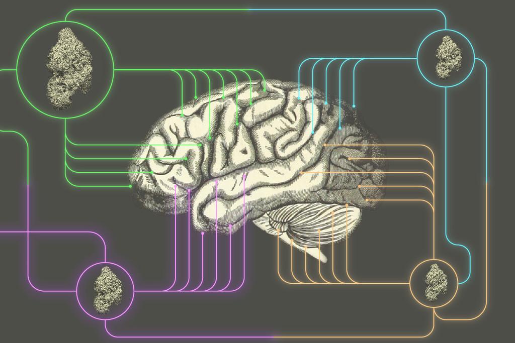 Lees Hier Hoe Wiet De Hersenen Beïnvloedt Rqs Blog