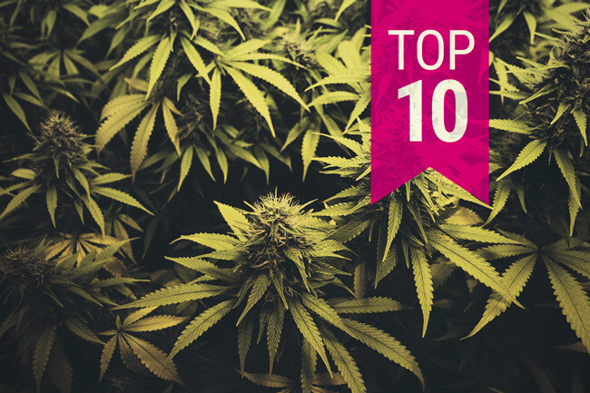 Top 10 Beste Sativa Cannabissoorten