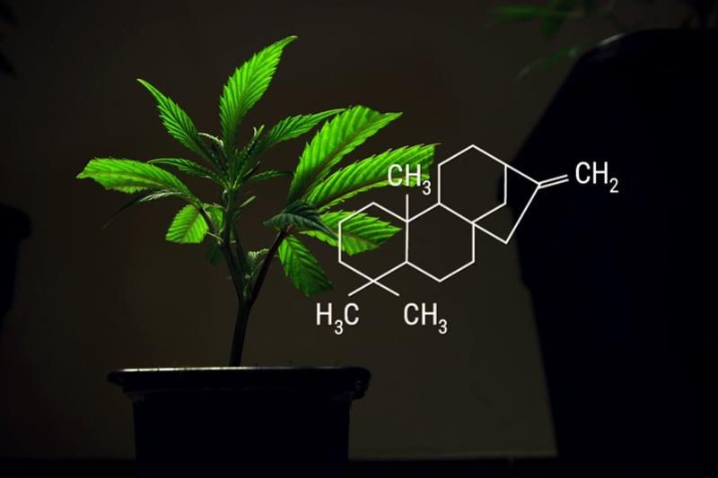 foto de Cannabisstekken En Wortelhormonen - RQS Blog