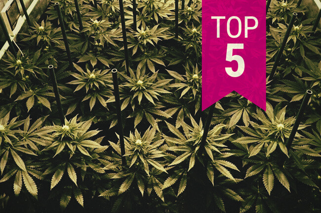 Top 5 RQS Cannabissoorten Om Te Kweken In Een Sea Of Green (SOG)