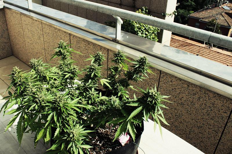 Hoe kweek je wiet op een balkon of terras? rqs blog